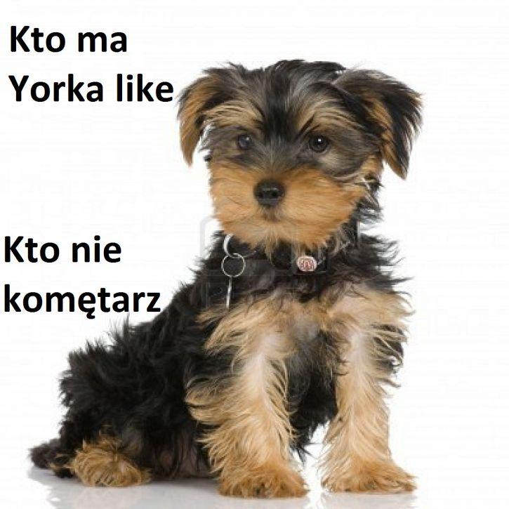 Kto ma Yorka?
