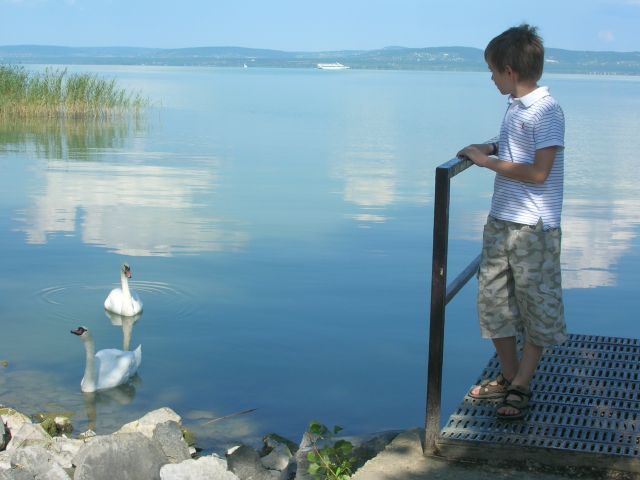 Łabędzie na Balatonie