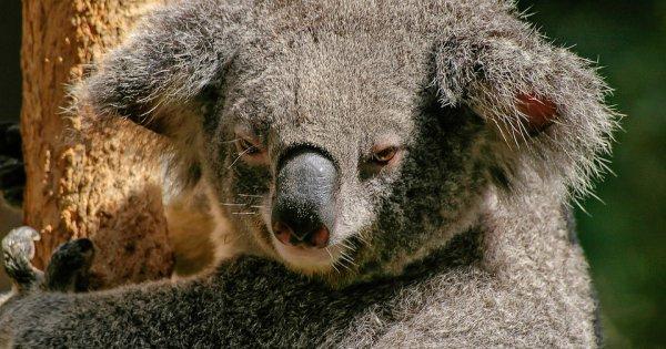 Pasta: Koale to najgorsze zwierzęta